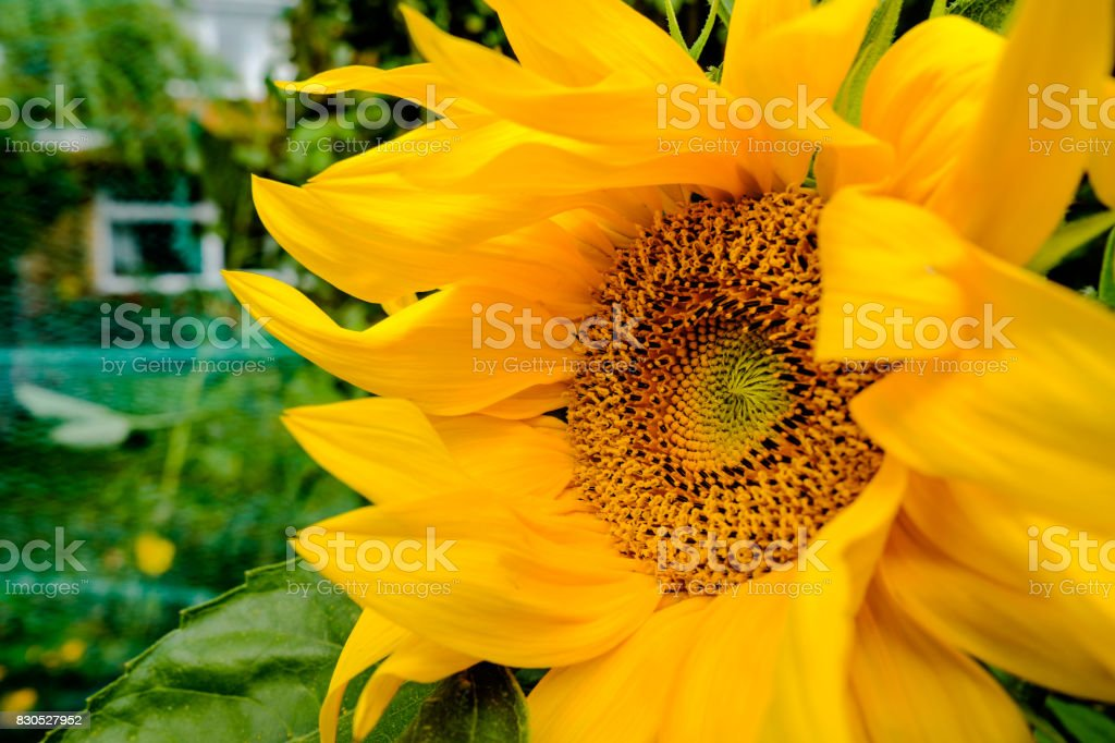 Close-up, detailed view of a wild Sunflower plant head, seen in a garden setting. stock photo