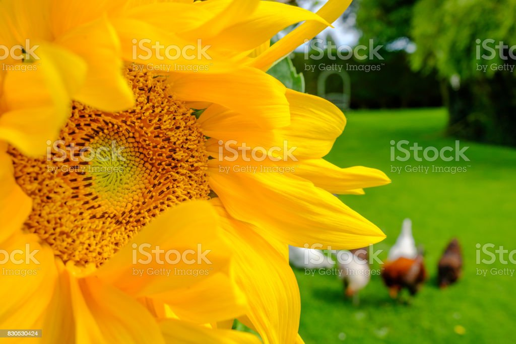 Close-up, detailed view of a wild Sunflower plant head, seen in a large garden together with a small flock of out of focus chickens seen in the background, foraging for food in late summer. stock photo