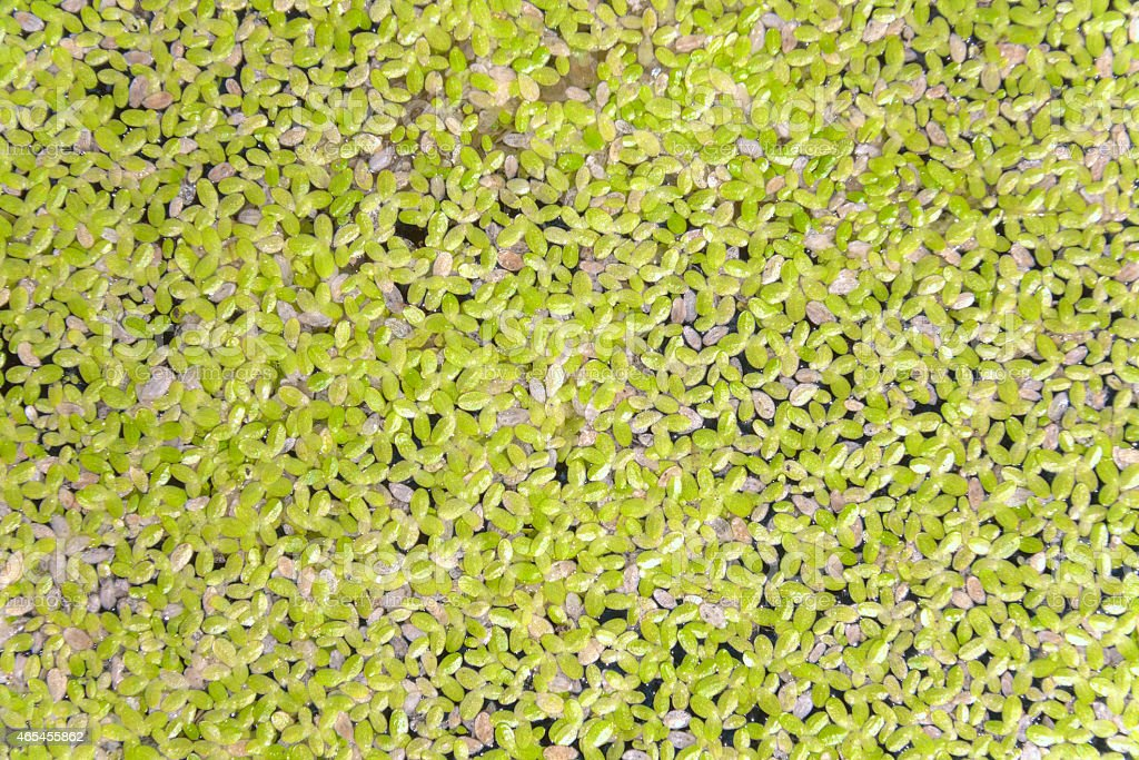 Closeup Duckweed in the sunlight royalty-free stock photo
