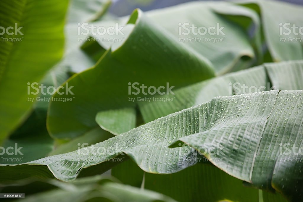 Close-up Dwarf or Wild Banana leaf with raindrops stock photo
