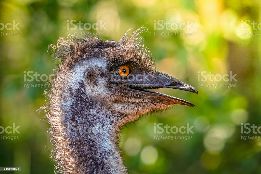 Close-up Emu head: bad hair day stock photo