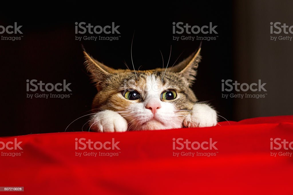 Closeup expressive cat with big eyes and his ears crouched stock photo