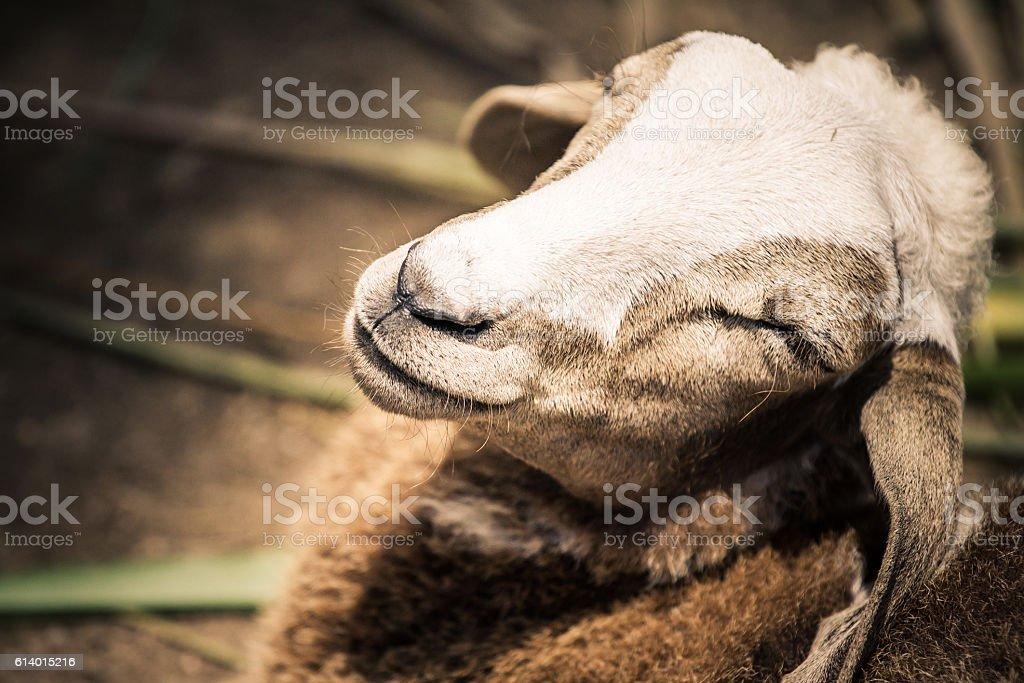 Closeup face of sheep in farm stock photo