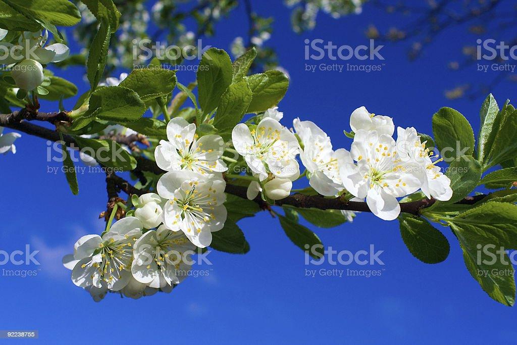 close-up flourish cherry on blue sky royalty-free stock photo