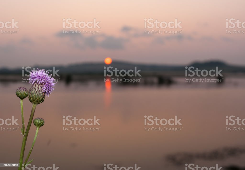 Close-up flower thistles by the river on summer setting sun background. stock photo