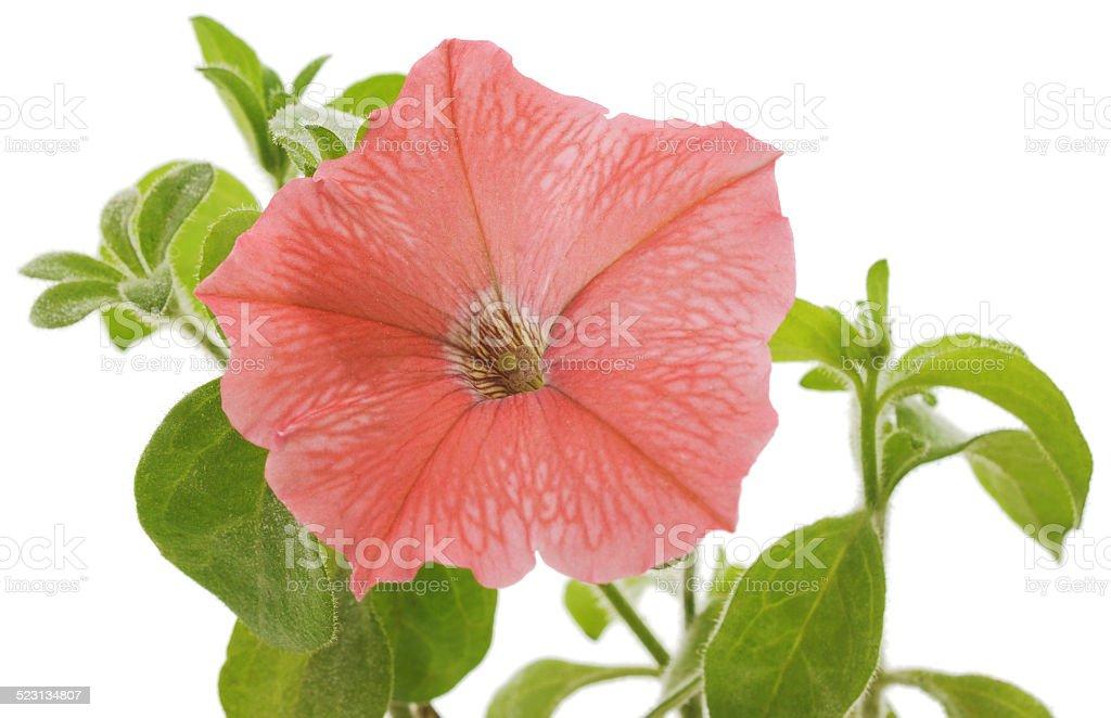 Primer plano de las flores de rosa petunia foto de stock libre de derechos