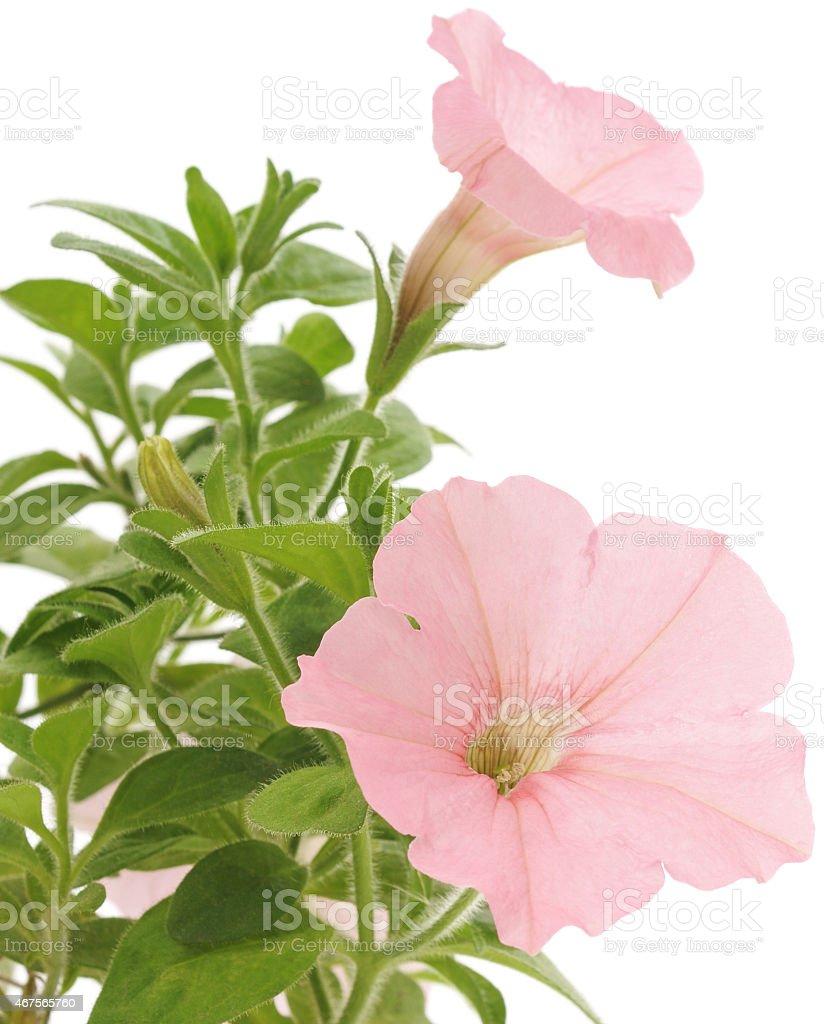 Primer plano de las flores de rosa petunias foto de stock libre de derechos