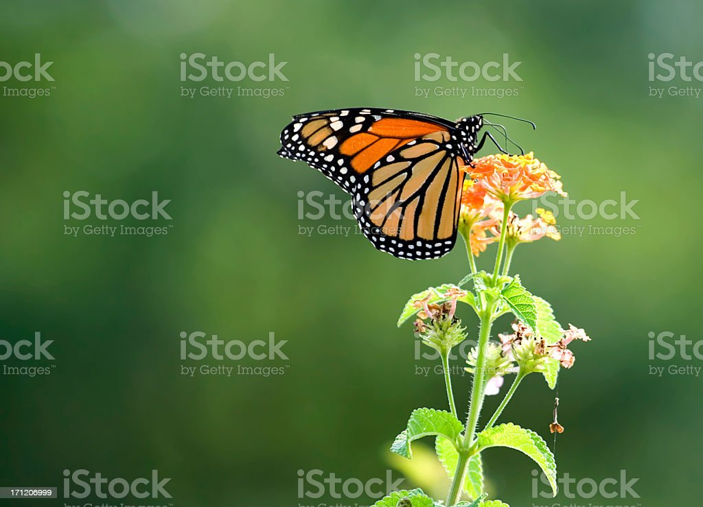 Close-up focused shot of a monarch butterfly on a flower stock photo
