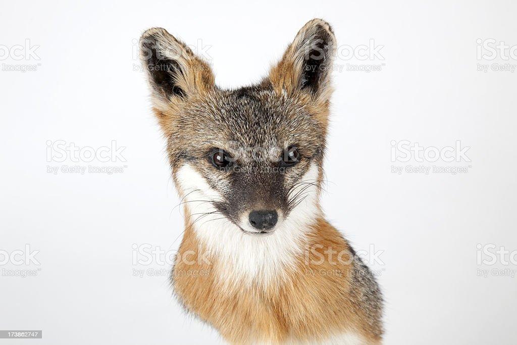 Close-up Fox Head royalty-free stock photo