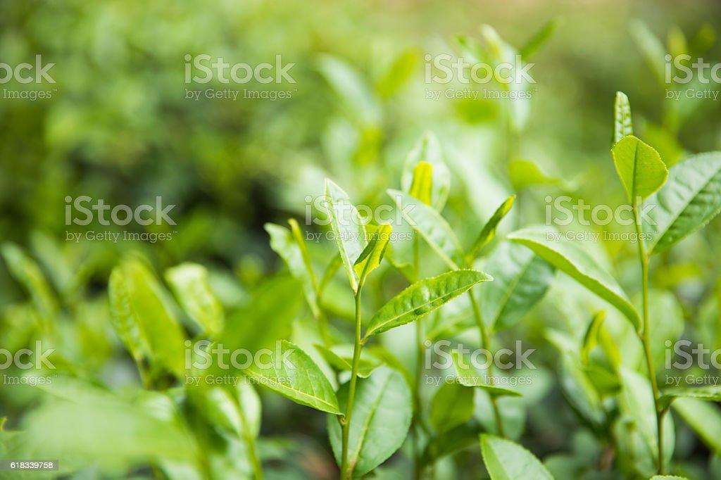 close-up fresh green tea leaves stock photo