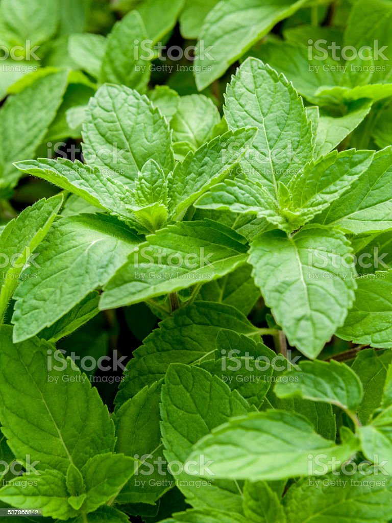 Closeup fresh growing peppermint leaves at vegetable garden. stock photo