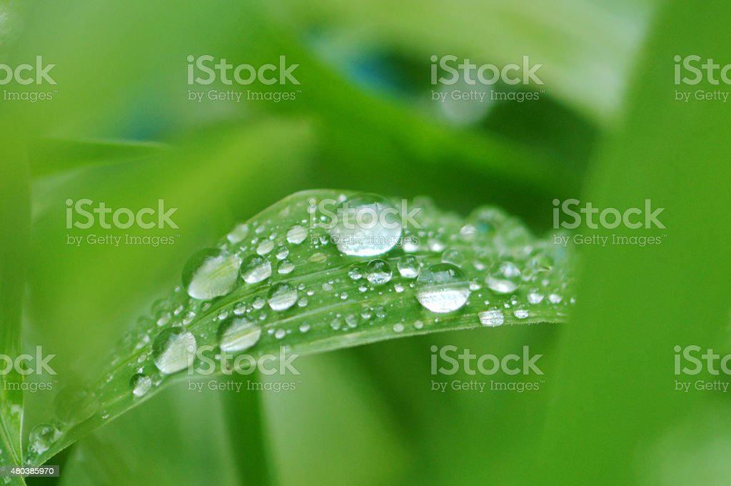 closeup fresh water drop on grass  in the park stock photo