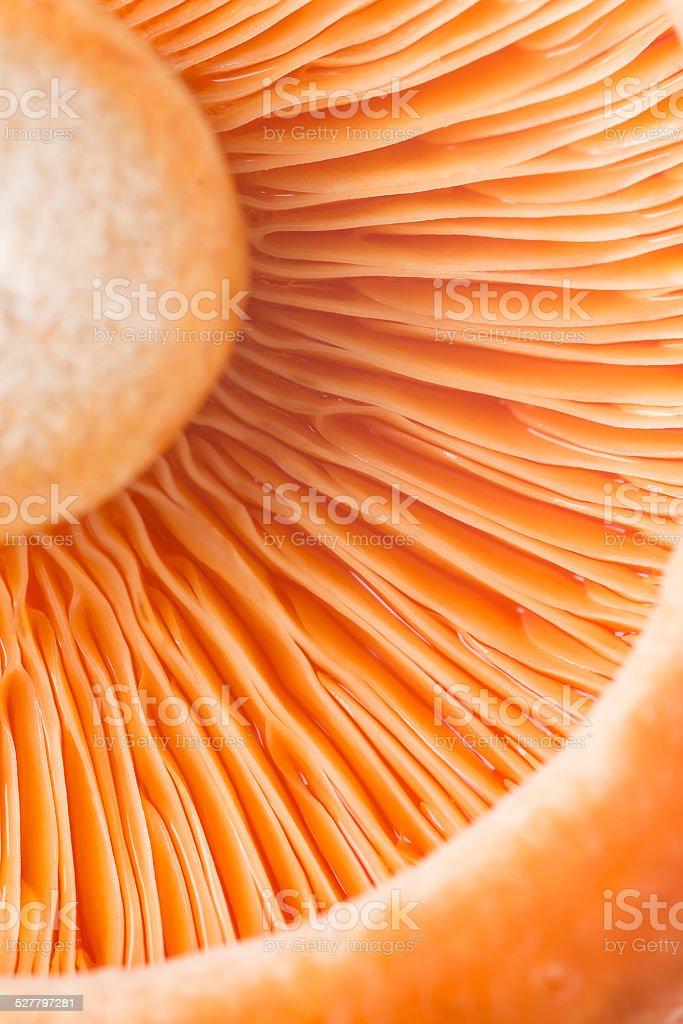 Closeup from a saffron milk cap stock photo