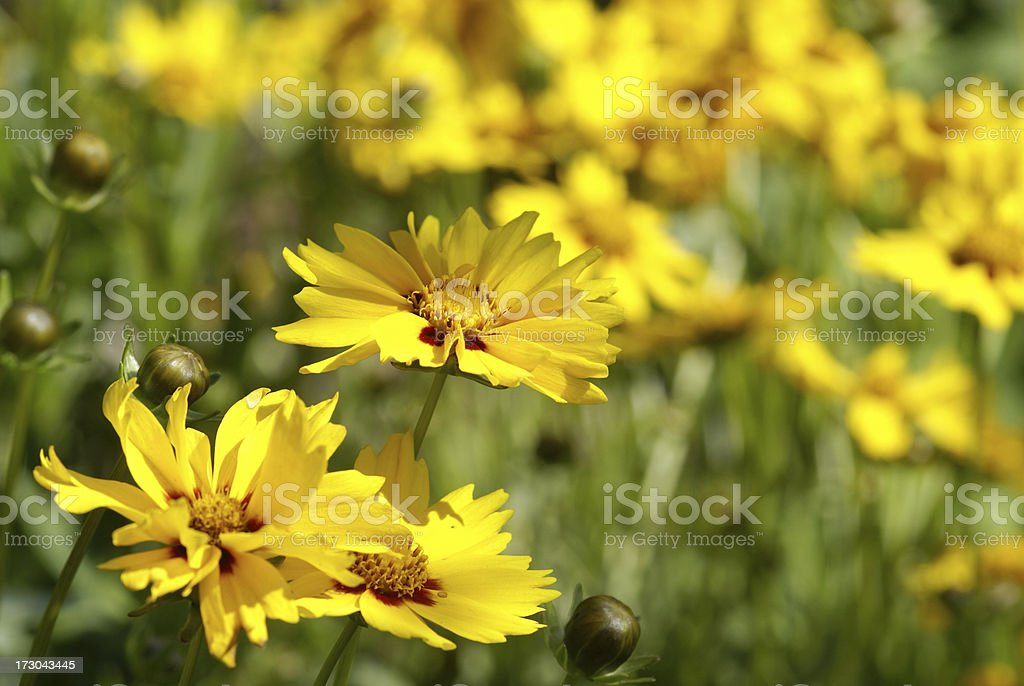 Closeup from girl eye flowers stock photo