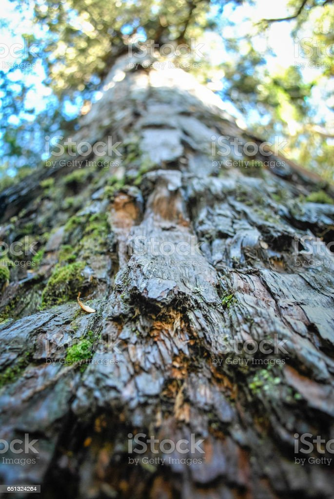 Close-up from the bark of a old Alerce tree, Chile stock photo