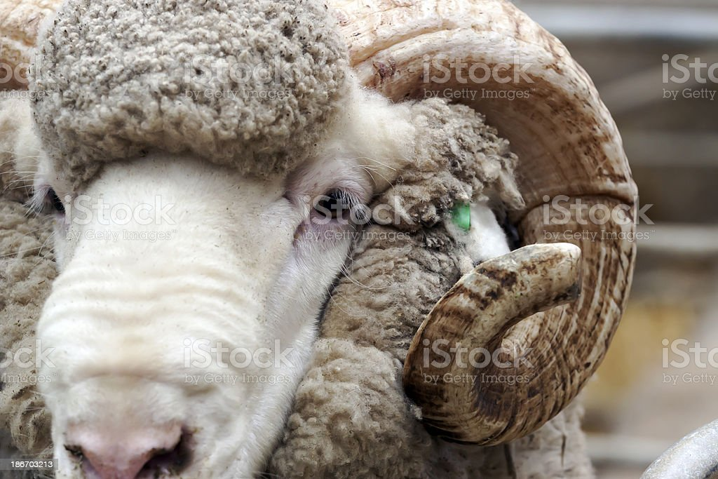 Closeup front view of ram head and horn stock photo