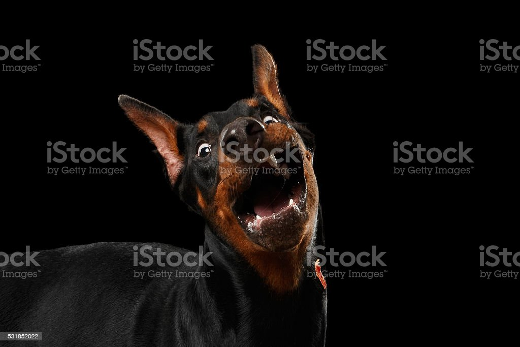 Closeup Funny Doberman Pinscher Dog Surprised Opened mouth, isolated Black stock photo