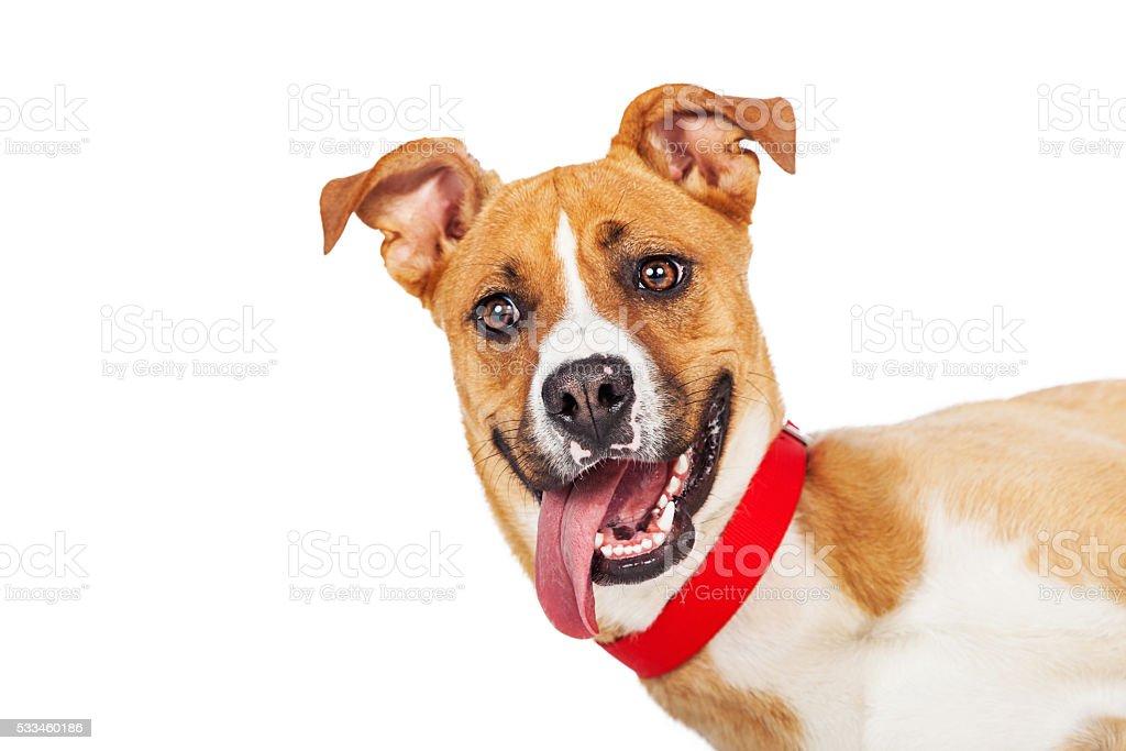 Closeup Funny Dog Laying Tongue Out stock photo