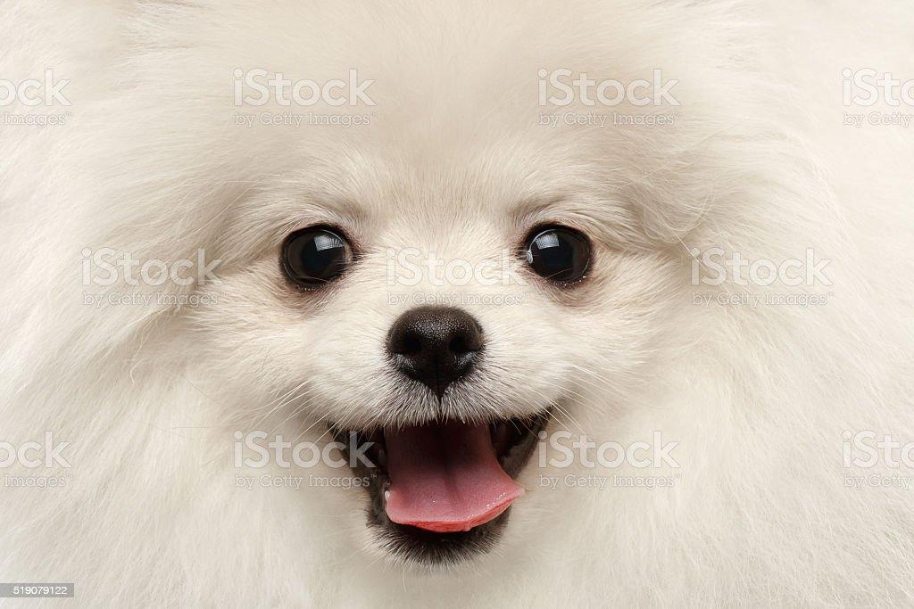 Closeup Furry Happiness White Pomeranian Spitz Dog Curious Smiling stock photo