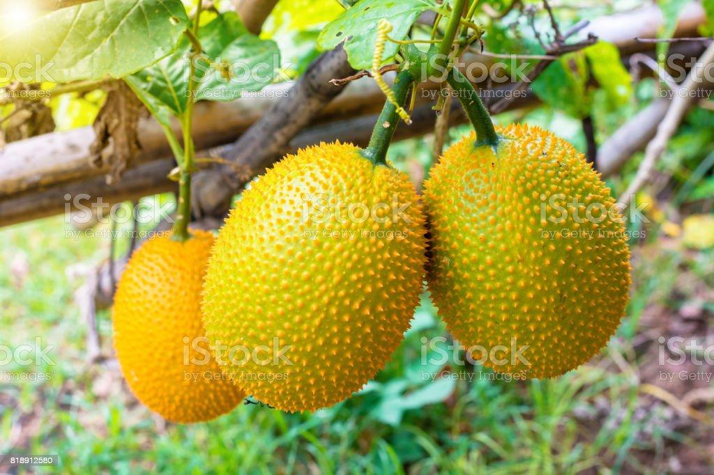 Closeup gac fruits in garden stock photo