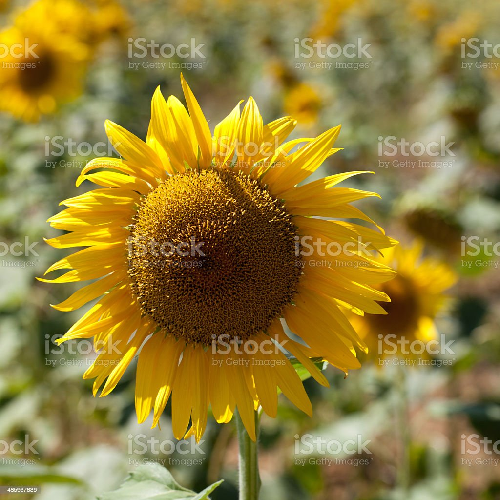 close-up genuine sunflower in sunny daylight stock photo