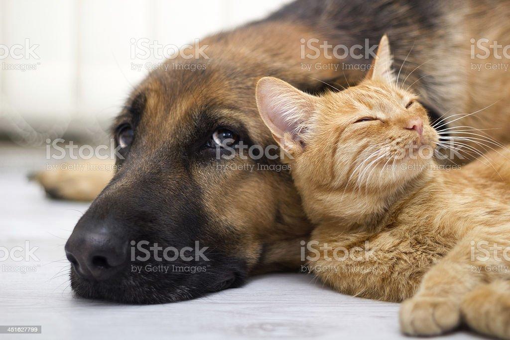 Close-up German Shepard laying next to cat stock photo