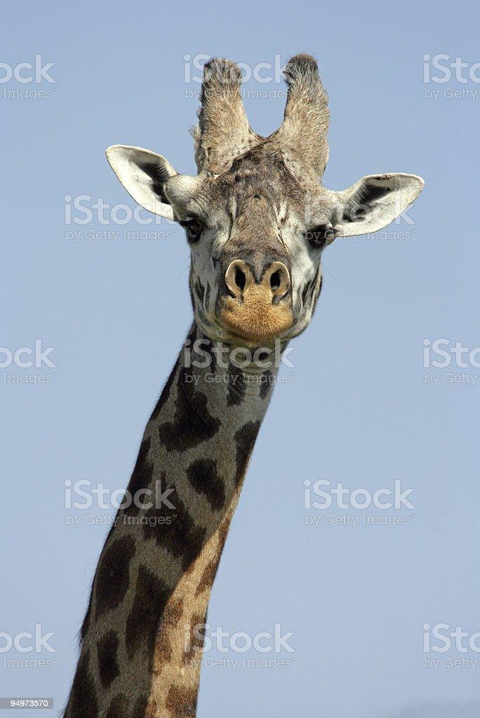 Close-up Giraffe royalty-free stock photo