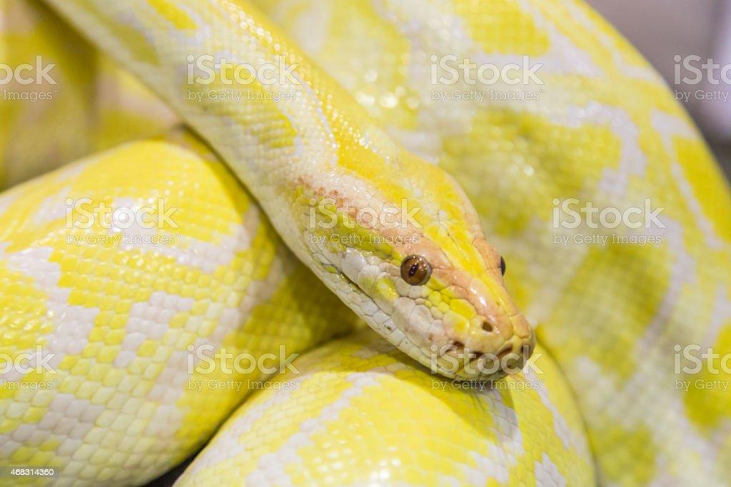 Closeup Gold Python,Reticulated python stock photo