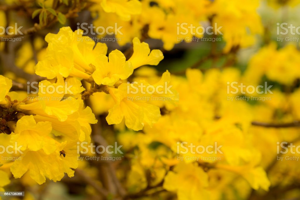close-up golden tree flower (yellow pui) in summer day stock photo