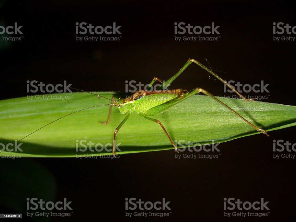 closeup, grasshopper on plant, macro,  insect, green, isolated royalty-free stock photo