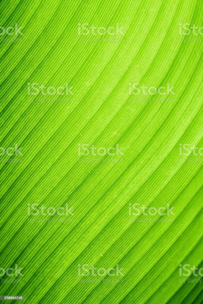 Close-up green banana leaf stock photo