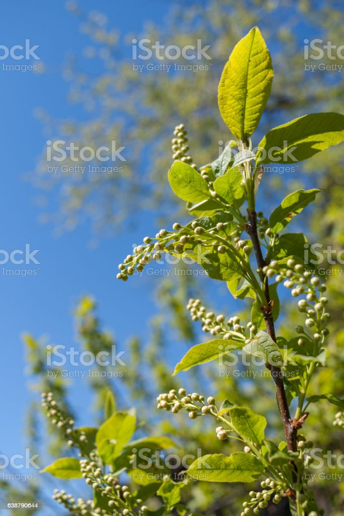 Close-up green bird-cherry branch with unopened buds in spring. stock photo