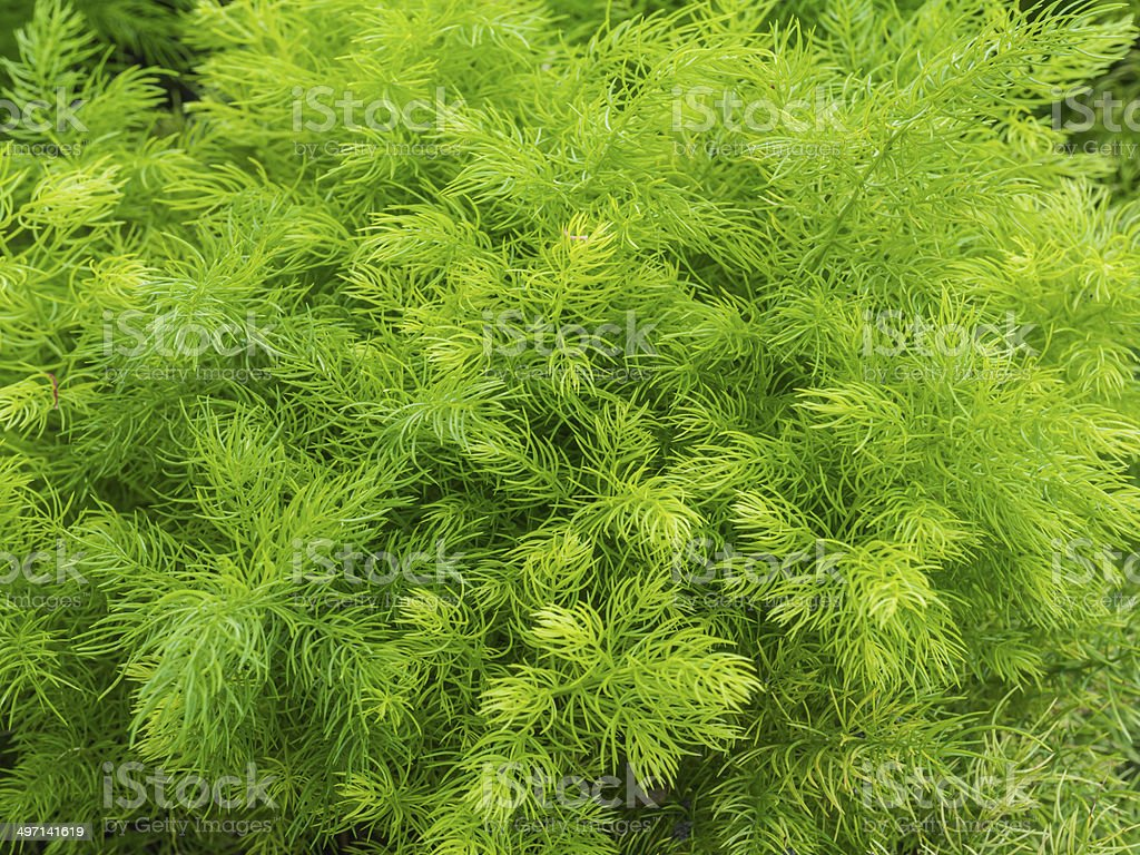 Closeup green bush of Shatavari (Asparagus racemosus  Willd.) stock photo