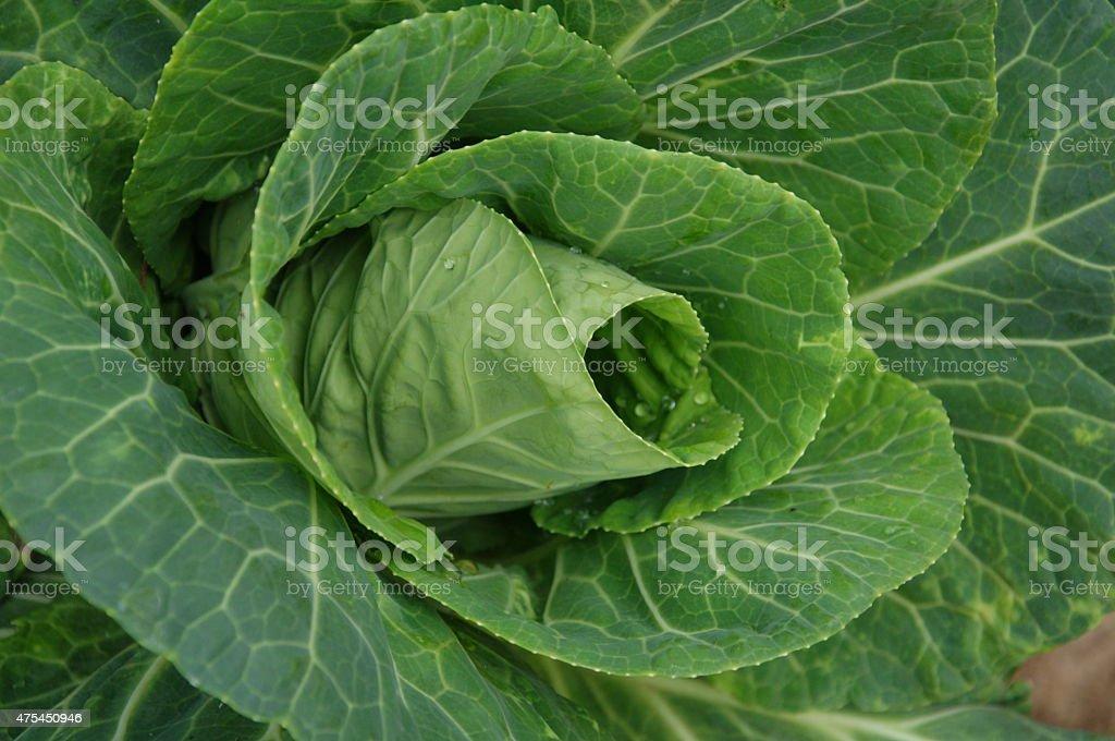 closeup  green cabbage stock photo