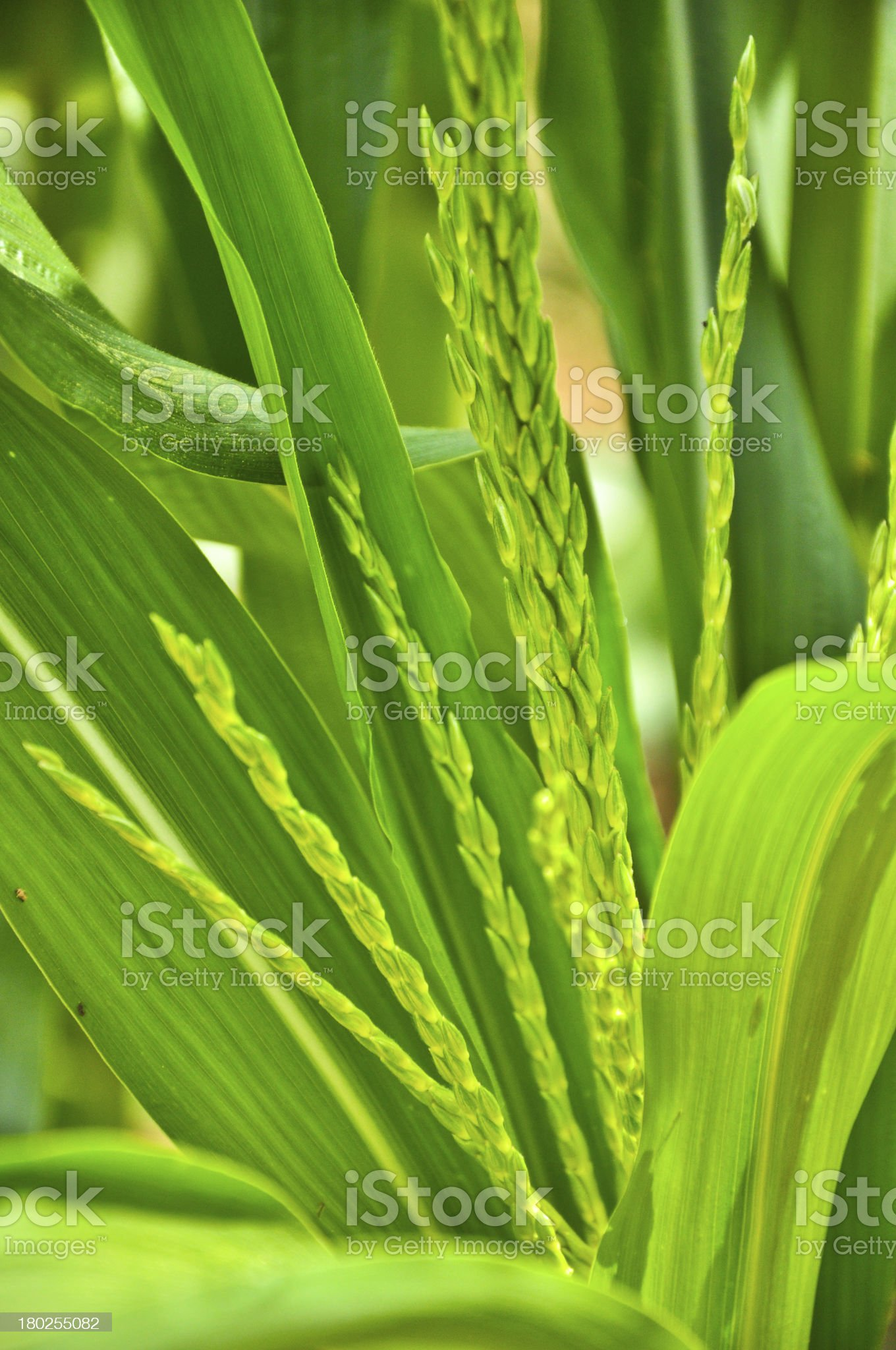 closeup green corn in bloom royalty-free stock photo