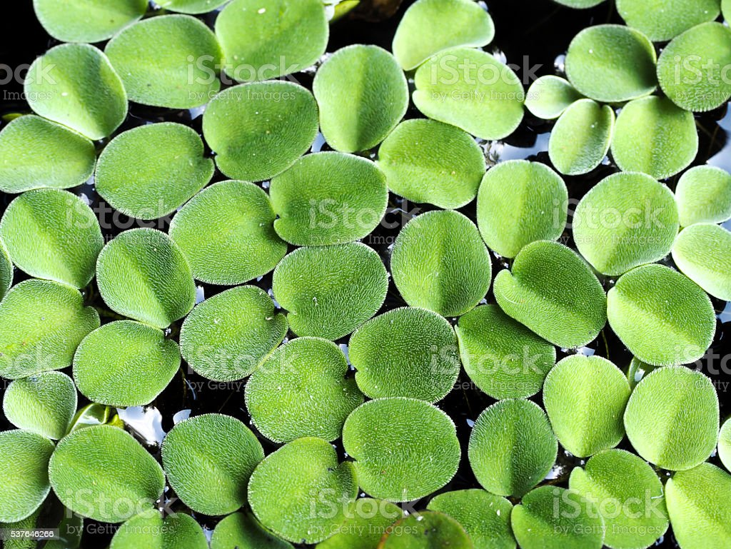 Closeup green fresh duckweed covered on the water (Selective focus). stock photo
