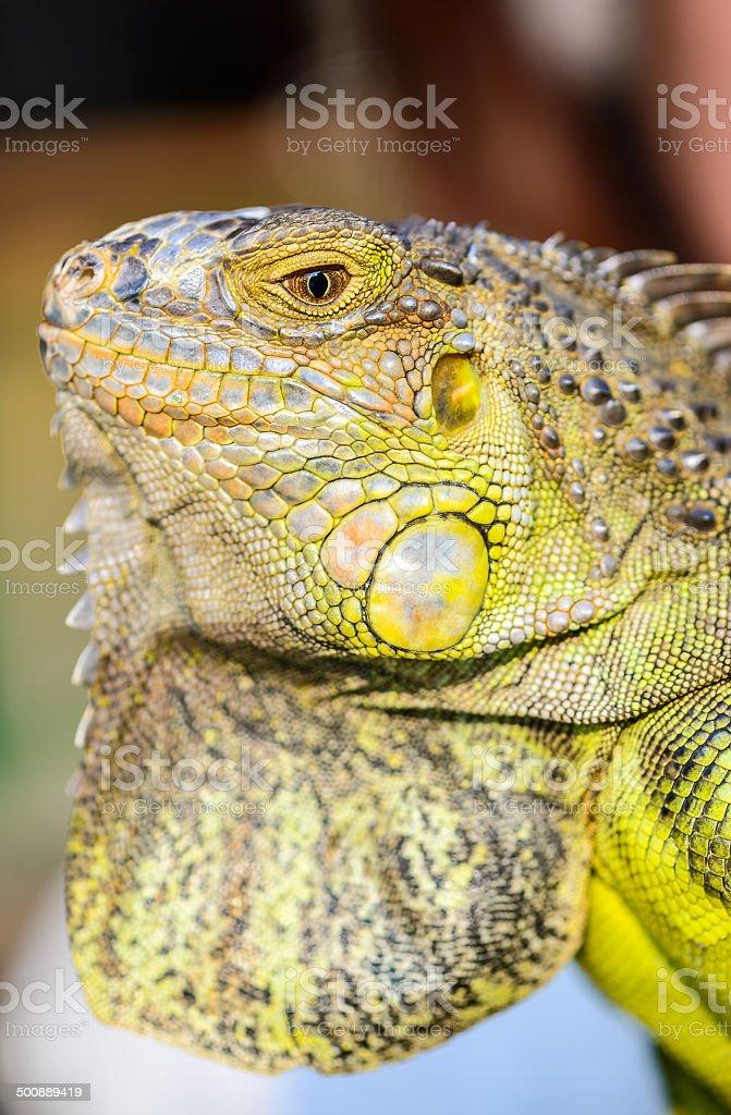 close-up green Iguana reptile animal stock photo