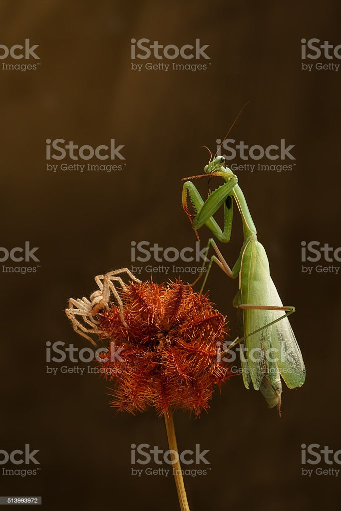 closeup green mantis and spider-hunter  on a prickly dry plant stock photo