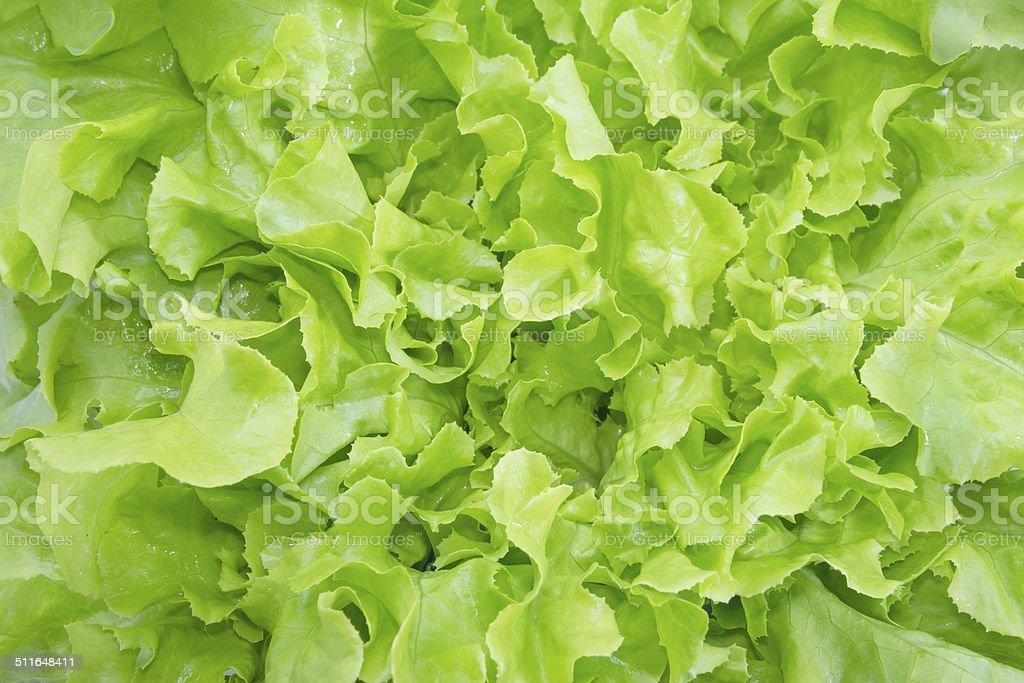 closeup Green oak leaf lettuce stock photo