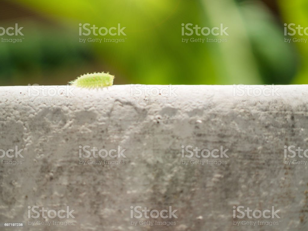 closeup green slug (parasa lepida) slow walking on the wall with soft focus background stock photo