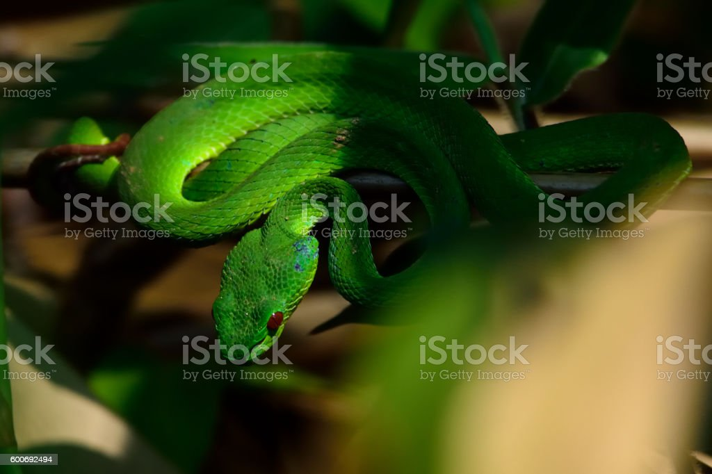 closeup Green Viper snake in the wild stock photo