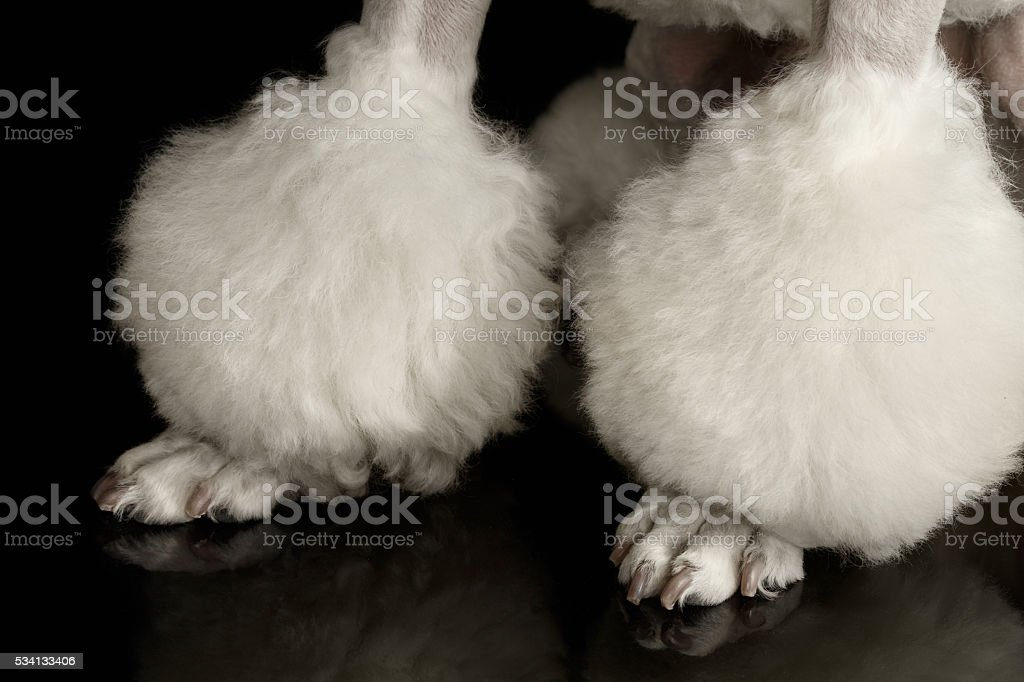 Closeup Groomed Paws of White Poodle Dog Isolated Black Background stock photo