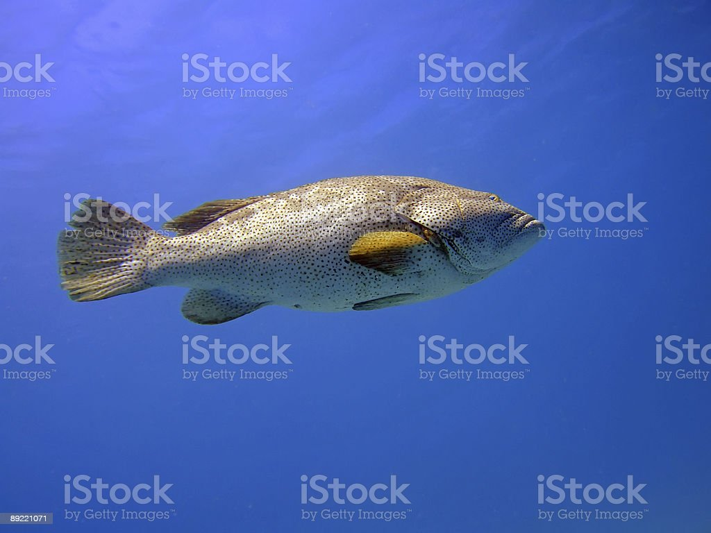 close-up grouper royalty-free stock photo
