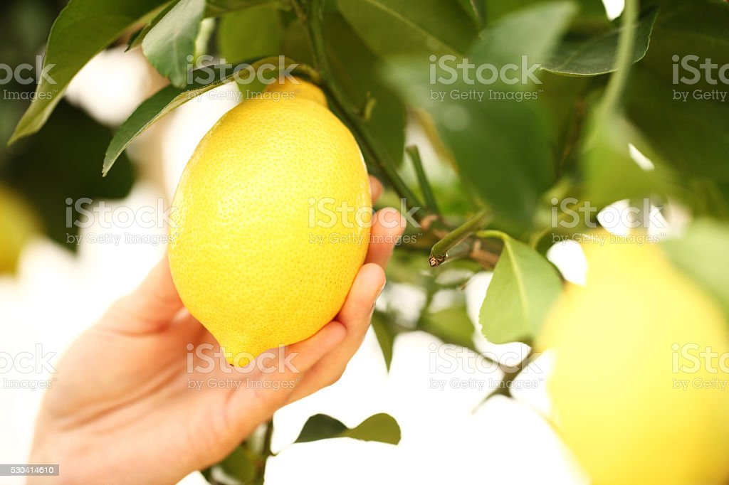 closeup hand harvest a lemon from the tree stock photo