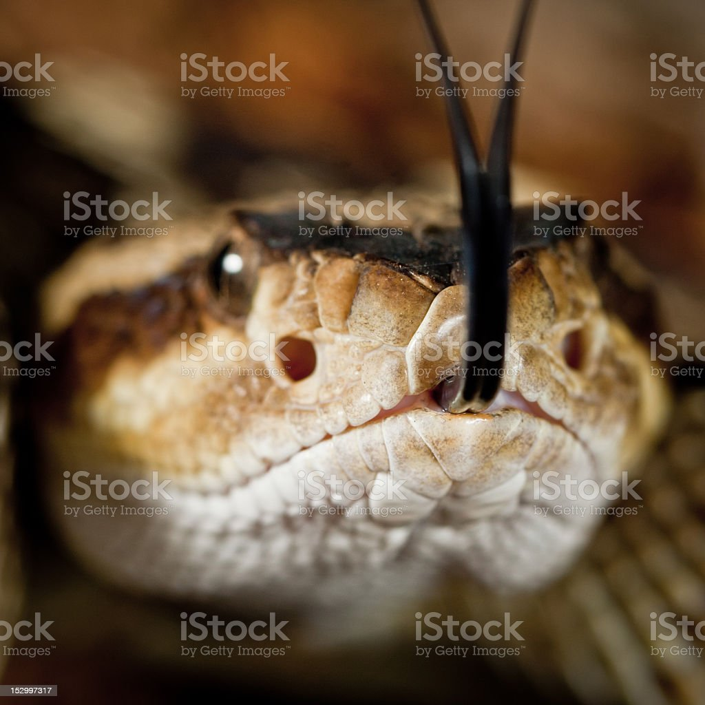 Close-up head in photo of Northern Black-tailed Rattlesnake stock photo