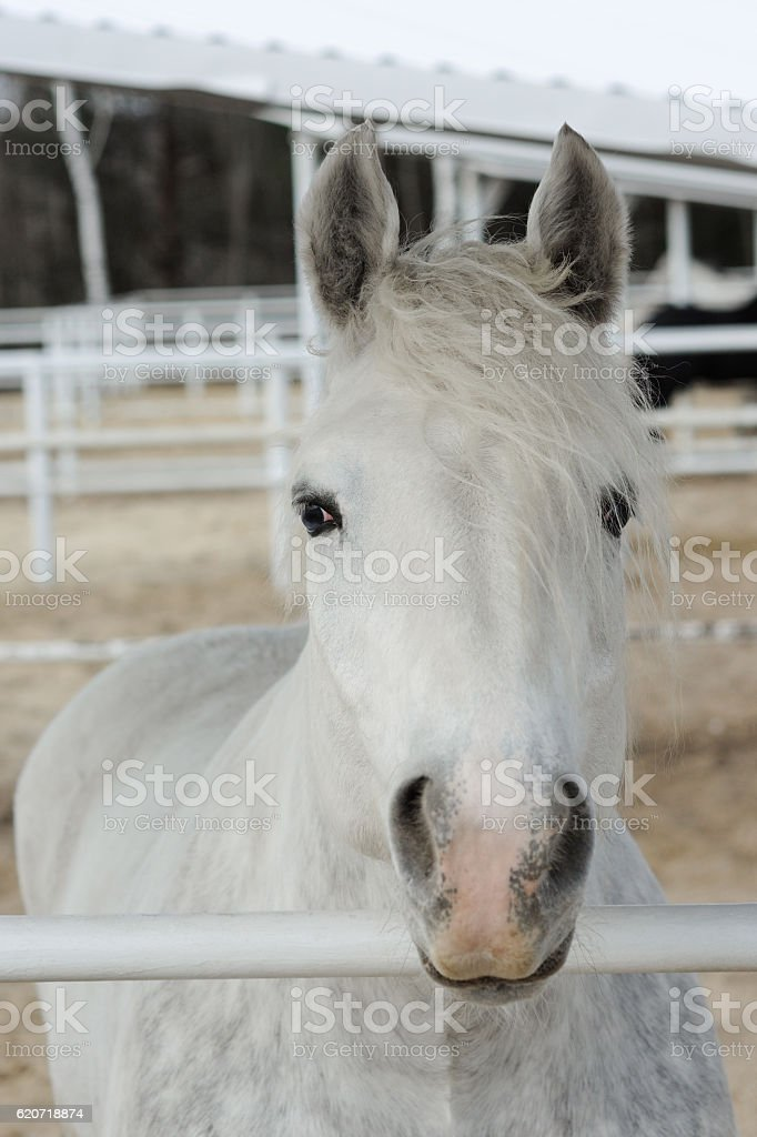 Close-up head of a dapple purebred boulonnais horse in pen stock photo