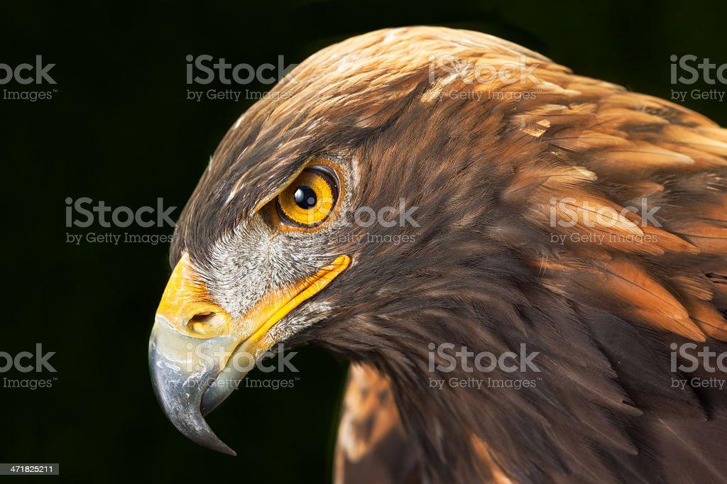 Close-up head of sea eagle royalty-free stock photo