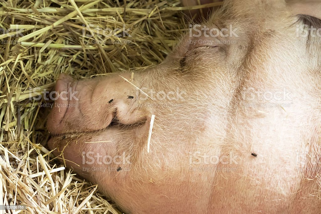 Closeup head of sleeping pig resting on hay royalty-free stock photo