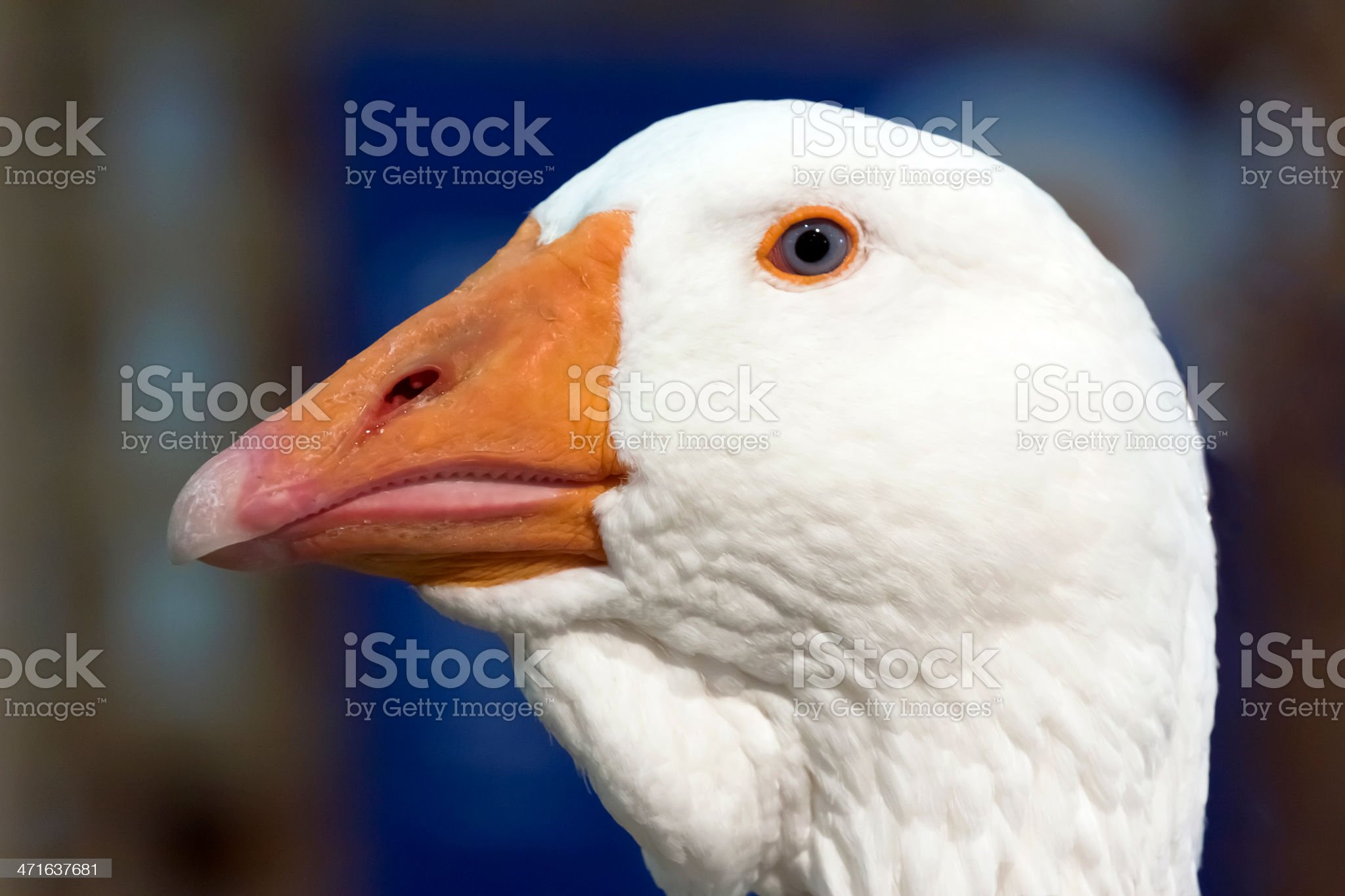 Closeup head of white goos against dark background royalty-free stock photo