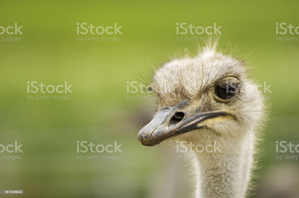 Close-up Head Shot of One Captive Ostrich royalty-free stock photo